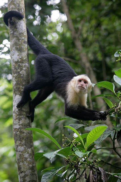 White-faced Capuchin Monkey hanging by its tail on a tree