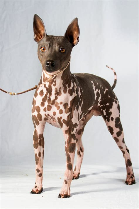 2 new dog breeds join American Kennel Club's roster - The