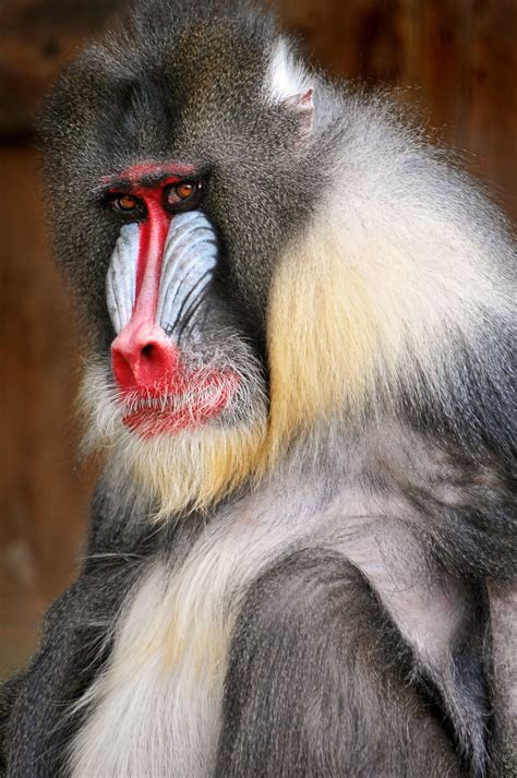 Macho mandrill | A portrait of a male mandrill of the zoo